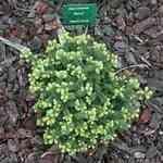 Fir Balsam Wild - Abies balsamea 野冷杉 有機花水純露