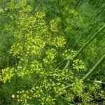 Dill Weed Wild - Anethum graveolens 野蒔蘿 有機精油
