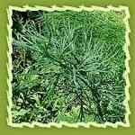 Anethi-Anethum sowa 印度蒔蘿精油