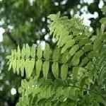 Frankincense Commercial - Boswellia carterii 乳香 有機花水純露