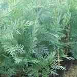 Cypress Aut. Blue - Callitris columellaris澳大利亞藍絲柏有機花水純露