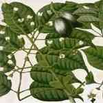 Elemi - Canarium luzonicum 欖香脂 有機花水純露