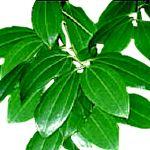 Cinnamon Leaf - Cinnamomum verum 肉桂葉 有機精油