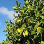 Lemon Cold Pressed - Citrus limonum 檸檬 有機精油