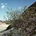 Myrrh - Commiphora myrrha 沒藥 有機精油