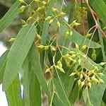 Eucalyptus Blue Gum - Eucalyptus globulus 藍膠尤加利 有機精油