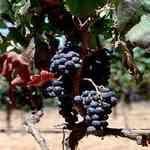 Grapeseed 葡萄籽油有機基礎油