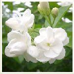 Jasmine- Jasminum grandiflorum 茉莉有機花水純露