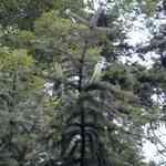 Cedarleaf-Juniperus canadiensis 維吉尼亞雪松葉有機精油