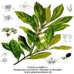 Laurel Berry - Laurus nobilis linne 月桂果 有機精油
