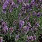 Lavender Croatian - Lavandula angustifolia 克羅地亞薰衣草有機精油