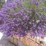 Lavender Bulgarian - Lavandula vera 保加利亞薰衣草有機花水純露