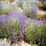 Lavender Population - Lavandula angustifolia 普羅高山薰衣草 有機花水純露