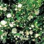 Myrtle - Myrtus communis 香桃木 有機精油