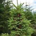 Spruce Black - Picea mariana 黑雲杉 有機花水純露