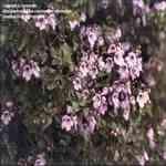 Australian Balm Mint Bush - Prostanthera melissifolia 澳洲香薄荷精油