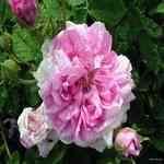 Rose Bulgarian - Rosa damascena 保加利亞玫瑰脂吸法精油