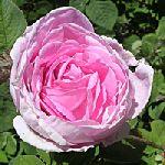 Rose Otto Bulgarian - Rosa damascena 奧圖保加利亞玫瑰 有機花水純露