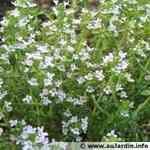 Thyme - Thymus vulgaris 百里香 有機精油